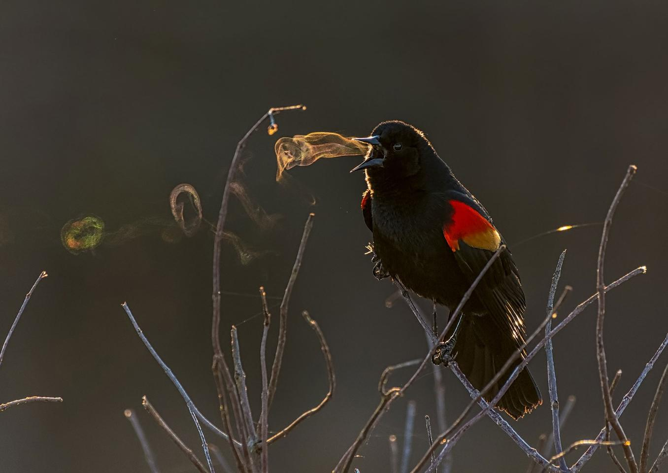 This year's Grand Prize-winning image entitled Red-winged Blackbird, shows the smoke-ring effect of the songbird singing on a crisp country morning