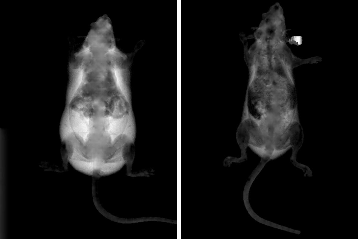 (Left) A mouse that consumed a high-fat diet for six weeks, compared to a treated mouse (right) that had the same diet for the same amount of time