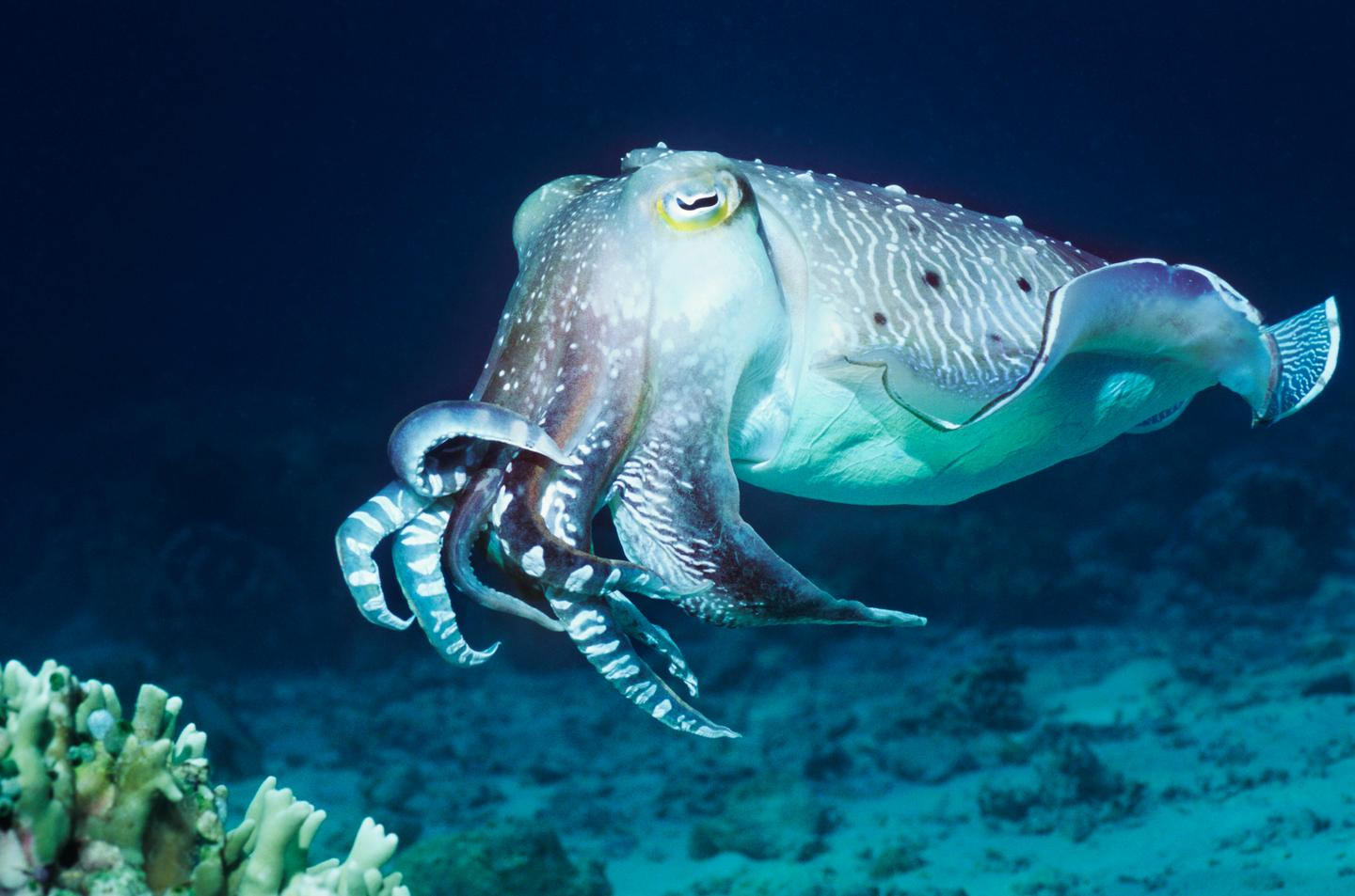 Cuttlefish will eat fewer crabs during the day if they know they're getting shrimp for dinner