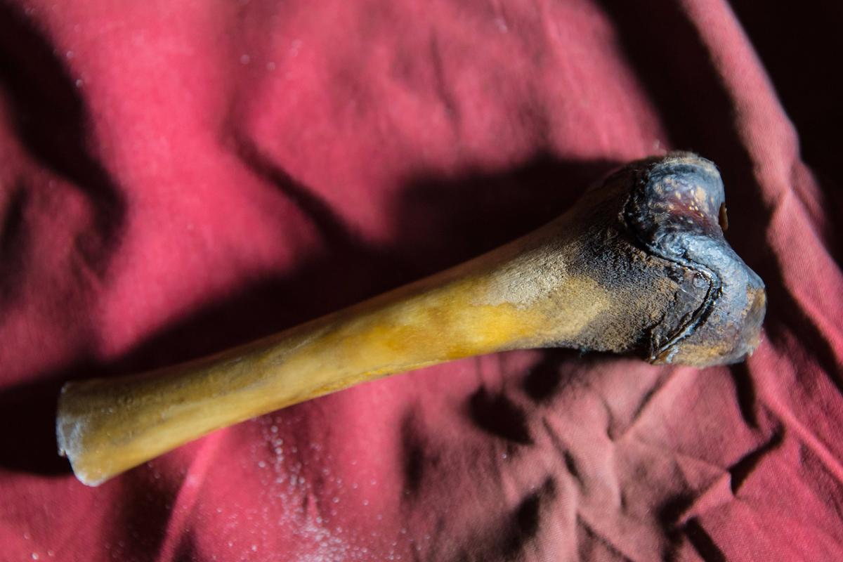 This femur, found in a cave on the Tibetan Plateau, was claimed to have come from the legendary Yeti, but a new genetic study has identified its true origin