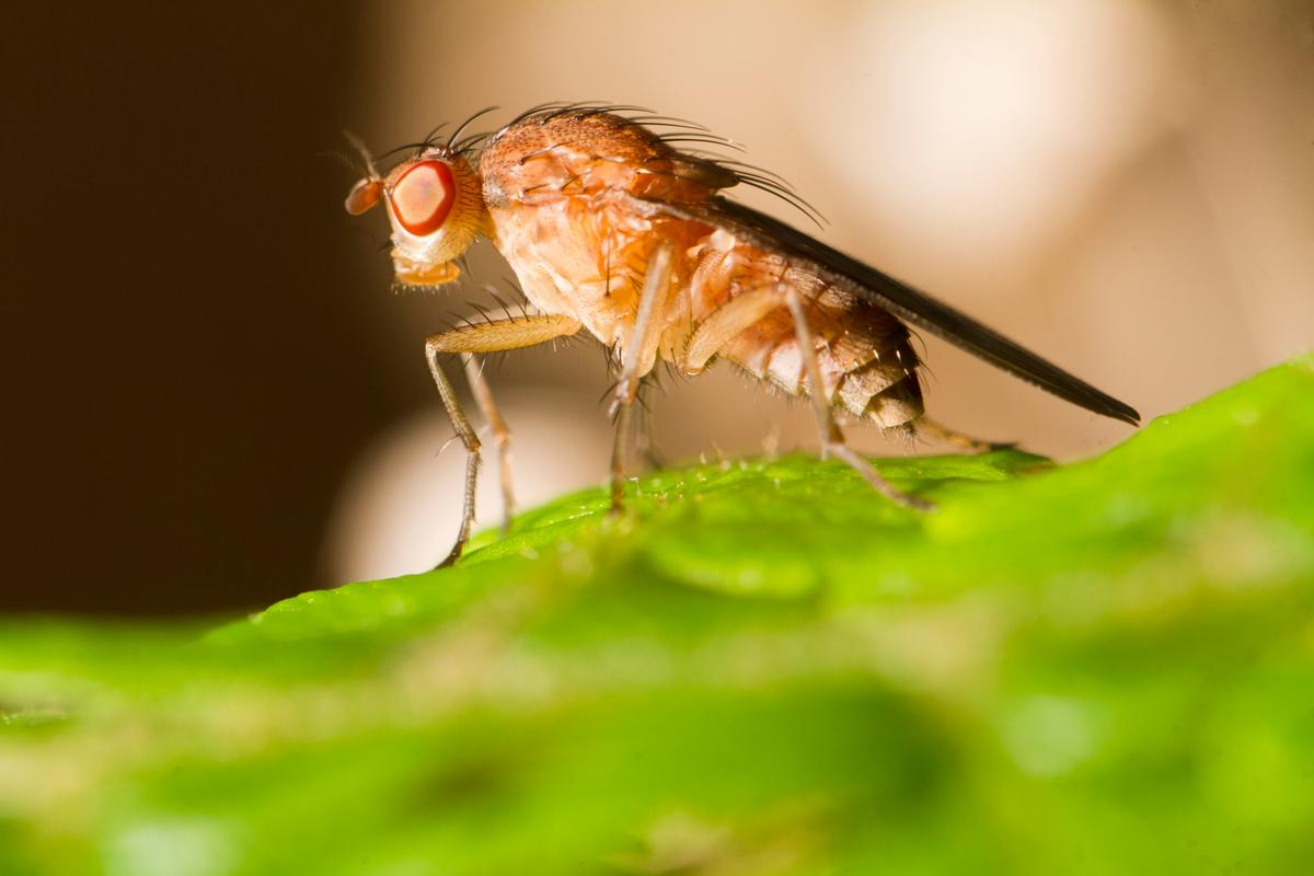 The common fruit fly may navigate using an inbuilt celestial compass