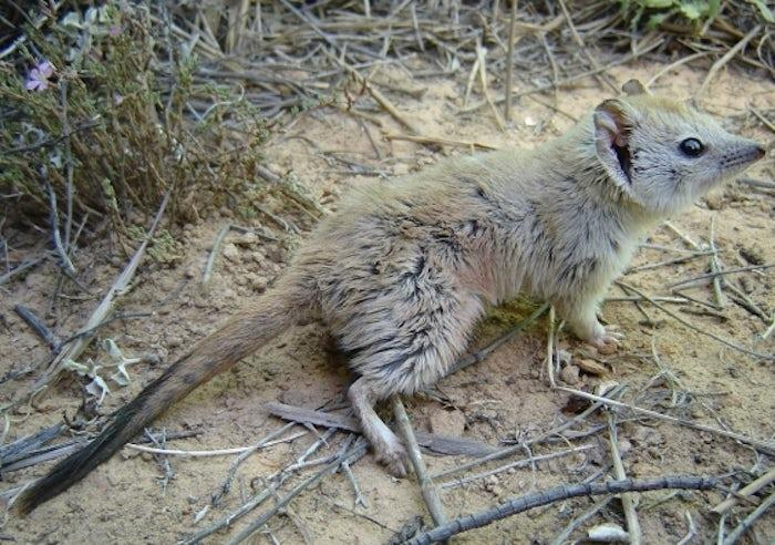 Once thought extinct in the state of New South Wales, the Crest-tailed Mulgara was recently rediscovered alive and well