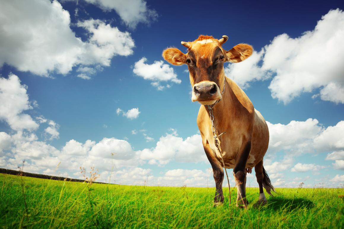 According to recent research, a lactating cow produces about 322g of methane per day