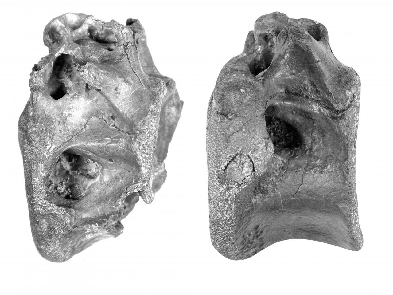 Two of the four vertebrae