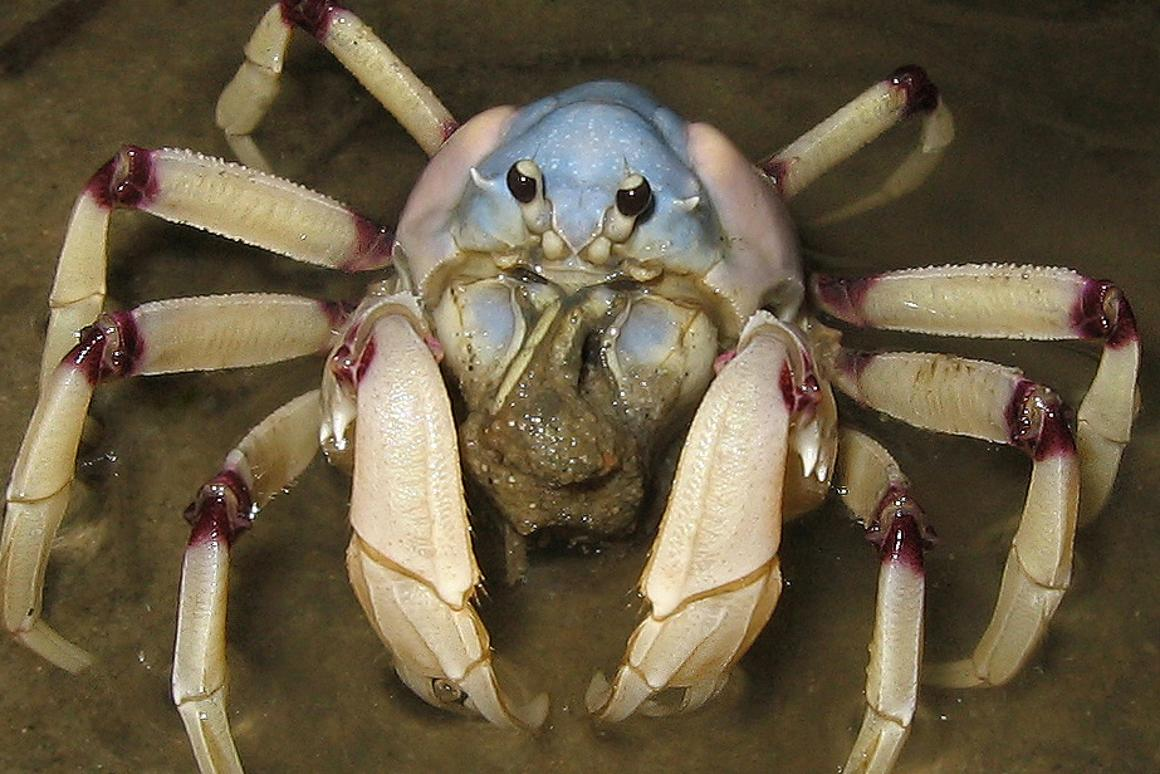 An Australian soldier crab, key component of the crab computer (Photo: LiquidGhoul, CC 3.0)