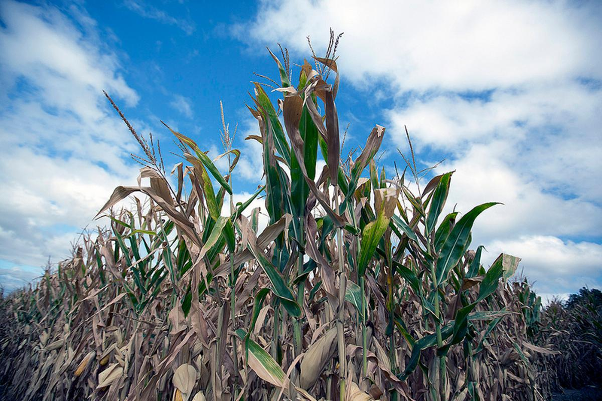 Drought bites deeply – this year's corn crop in Missouri Valley, Iowa (Photo: USDA and Dave Kosling)