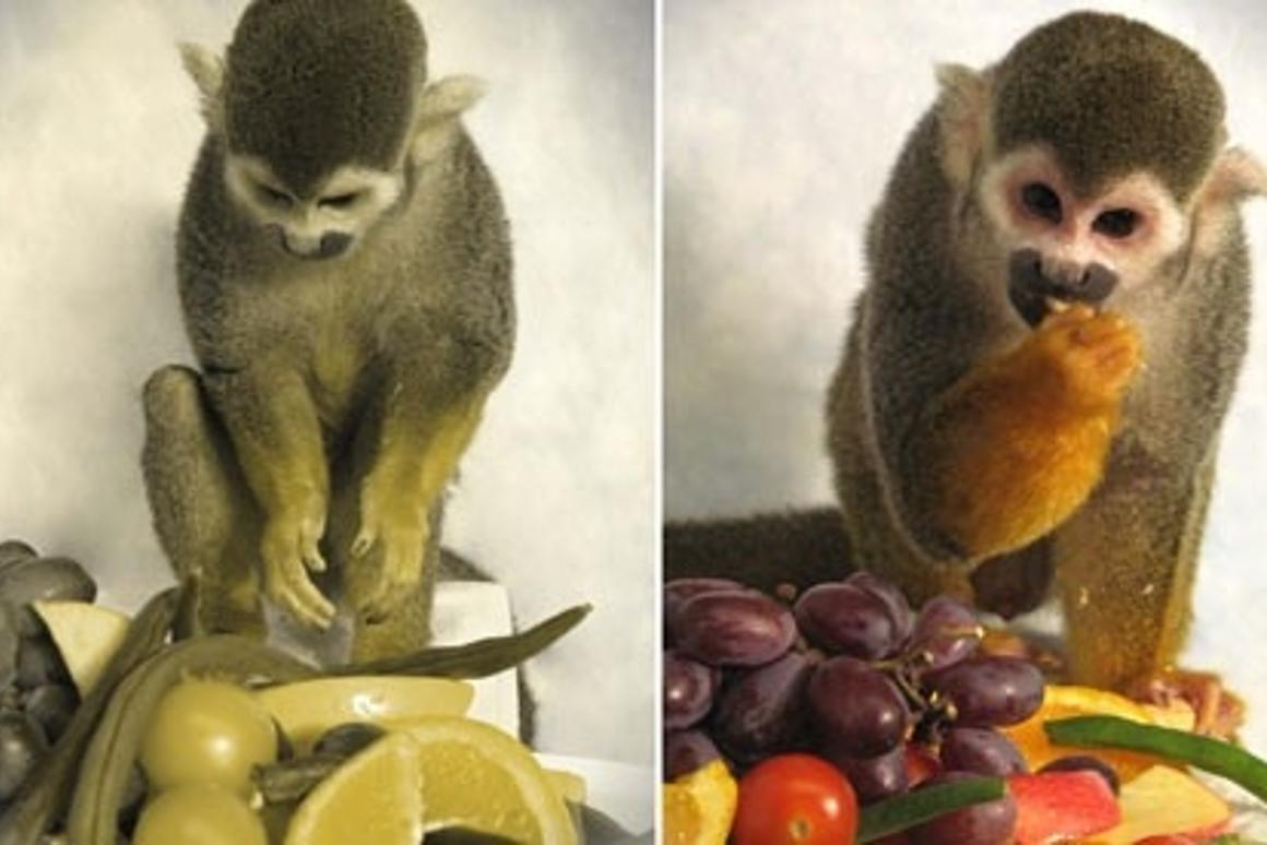 Scientists Cure Color Blindness In Monkeys Humans Next