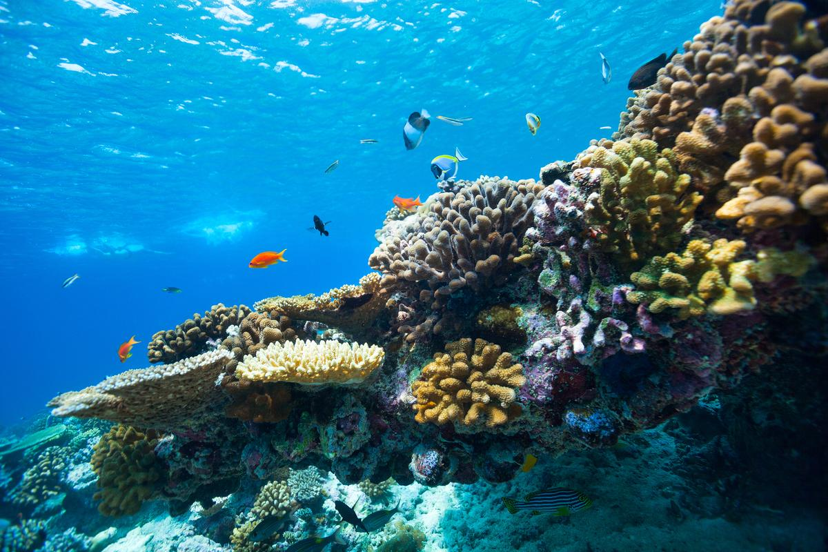 "Scientists have unraveled the mystery behind a form of ""colorful bleaching"" in coral reefs"