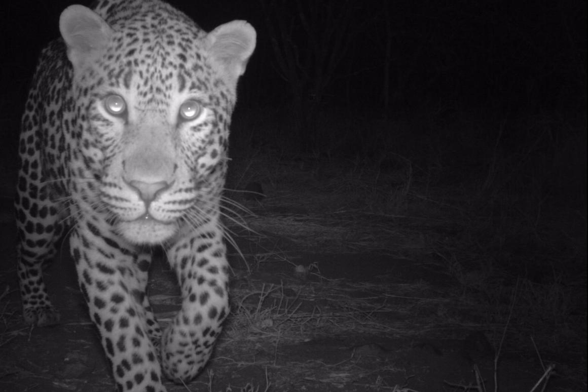 The researchers tracked the numbers in this hotbed for wild leopards by setting up 23 camera traps