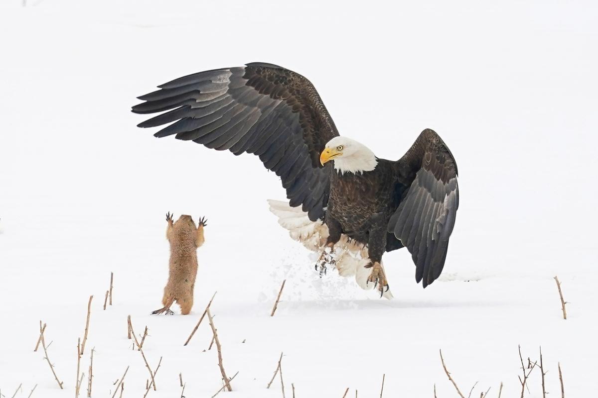 """Ninja Prairie Dog!"" (Bald eagle, Hygiene, CO)"