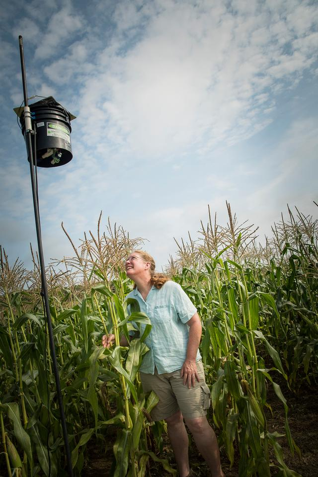 URI Professor Rebecca Brown checks out the operation of a laser scarecrow being tested in a cornfield at the URI Agronomy Farm