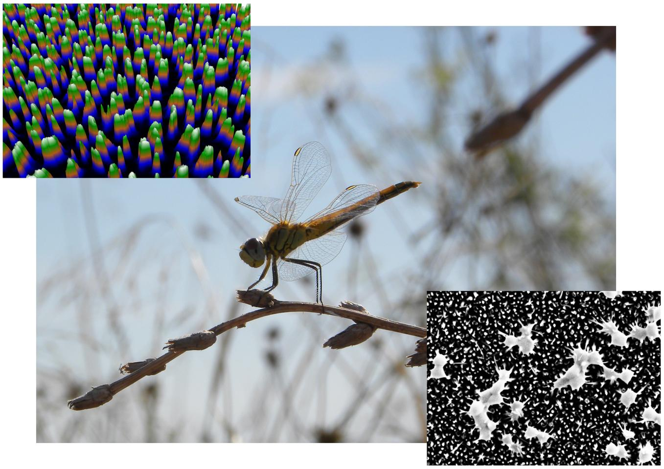 The surface structure of black silicon is similar to the surface of the wings of the Wandering Dragonfly