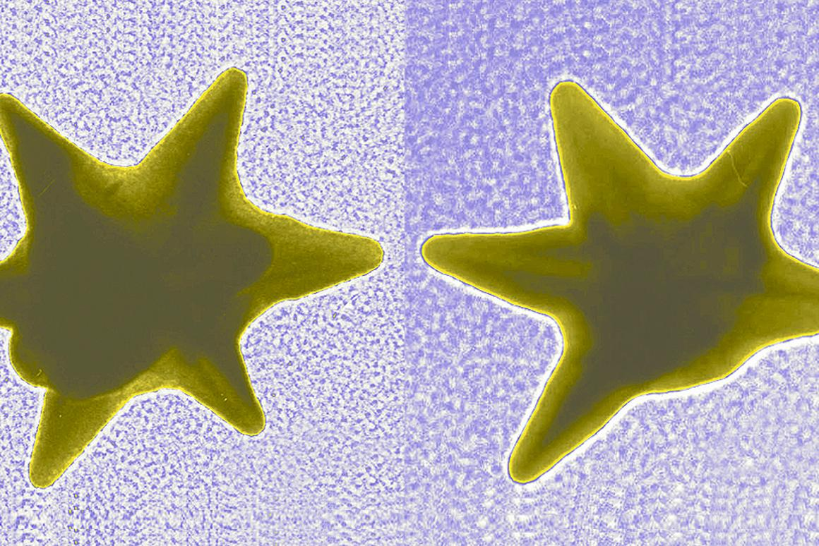Gold nanostars like these are able to deliver drugs directly into the nucleus of cancer cells (Image: NIST)