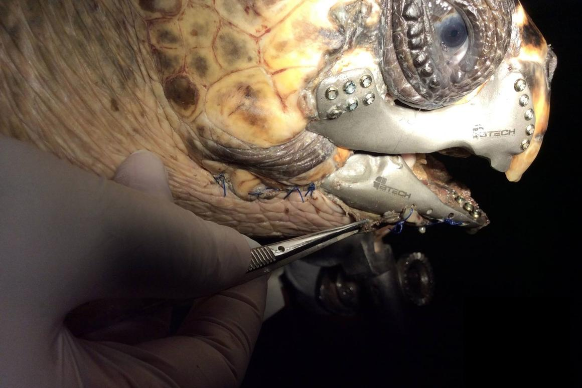 A turtle wounded by a boat propeller is now expected to make a full recovery, thanks to a 3D printed beak