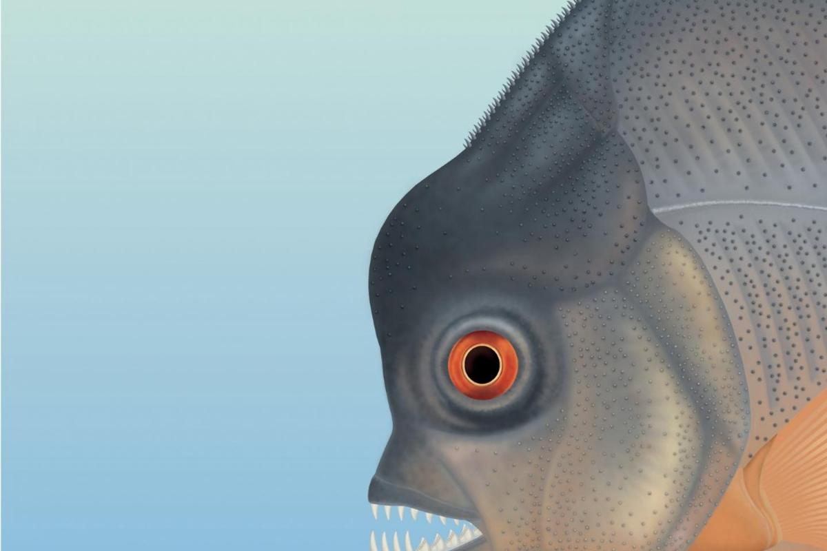 Although it evolved along similar lines as the piranha, Piranhamesodon pinnatomus is not thought to have been related to the present-day fish