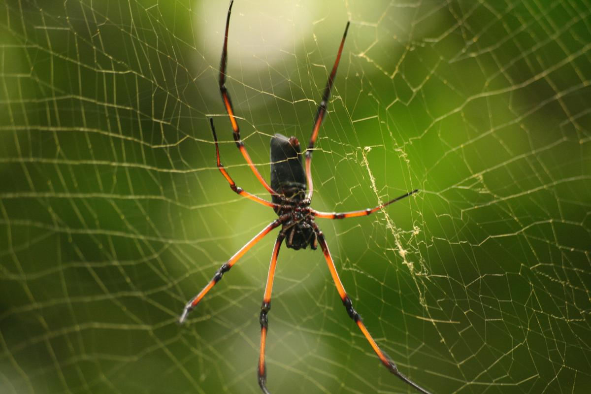 Golden orb web spiders, such as the red-legged golden orb-web spider (pictured), could help to develop new ant-repelling pesticides