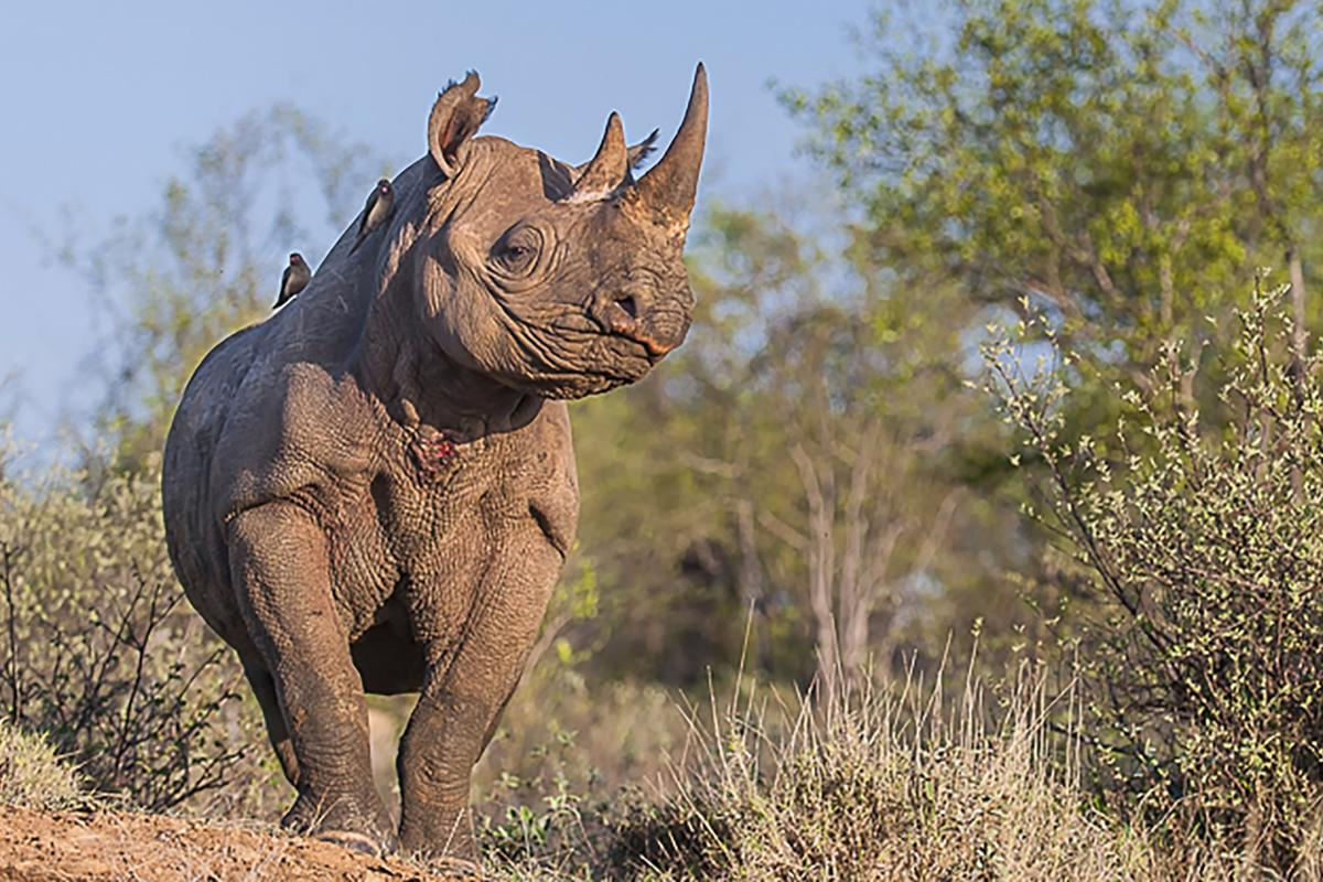 The project, which was hosted on the scientific crowdfunding platform Experiment, aims to sequence the genome of a black rhino named Ntombi
