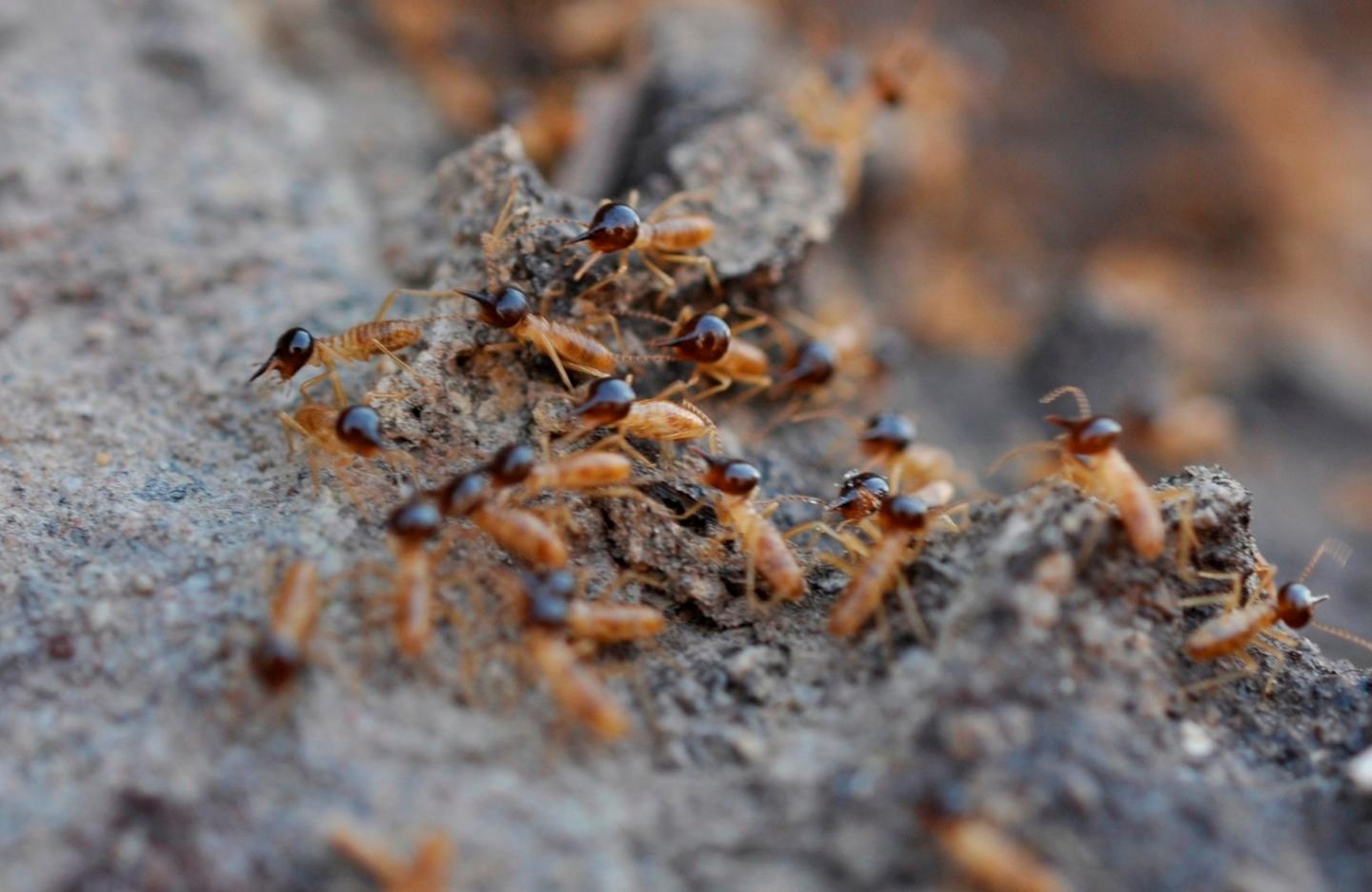 Like many great architects of the human world, these cathedral termites are the descendants of settlers that arrived from other continents and adapted to their landscape