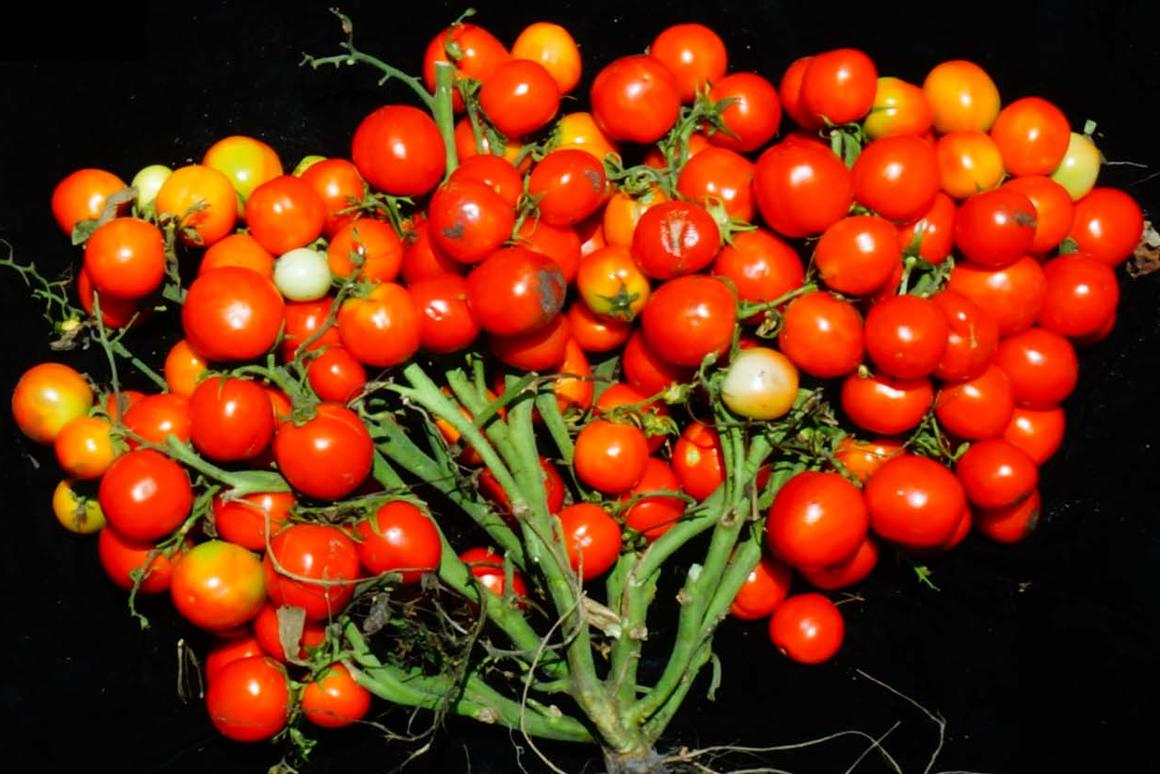 When three specific genetic mutations are combined and tuned just right, scientists can turn tomato plants into extremely compact bushes ideal for urban agriculture