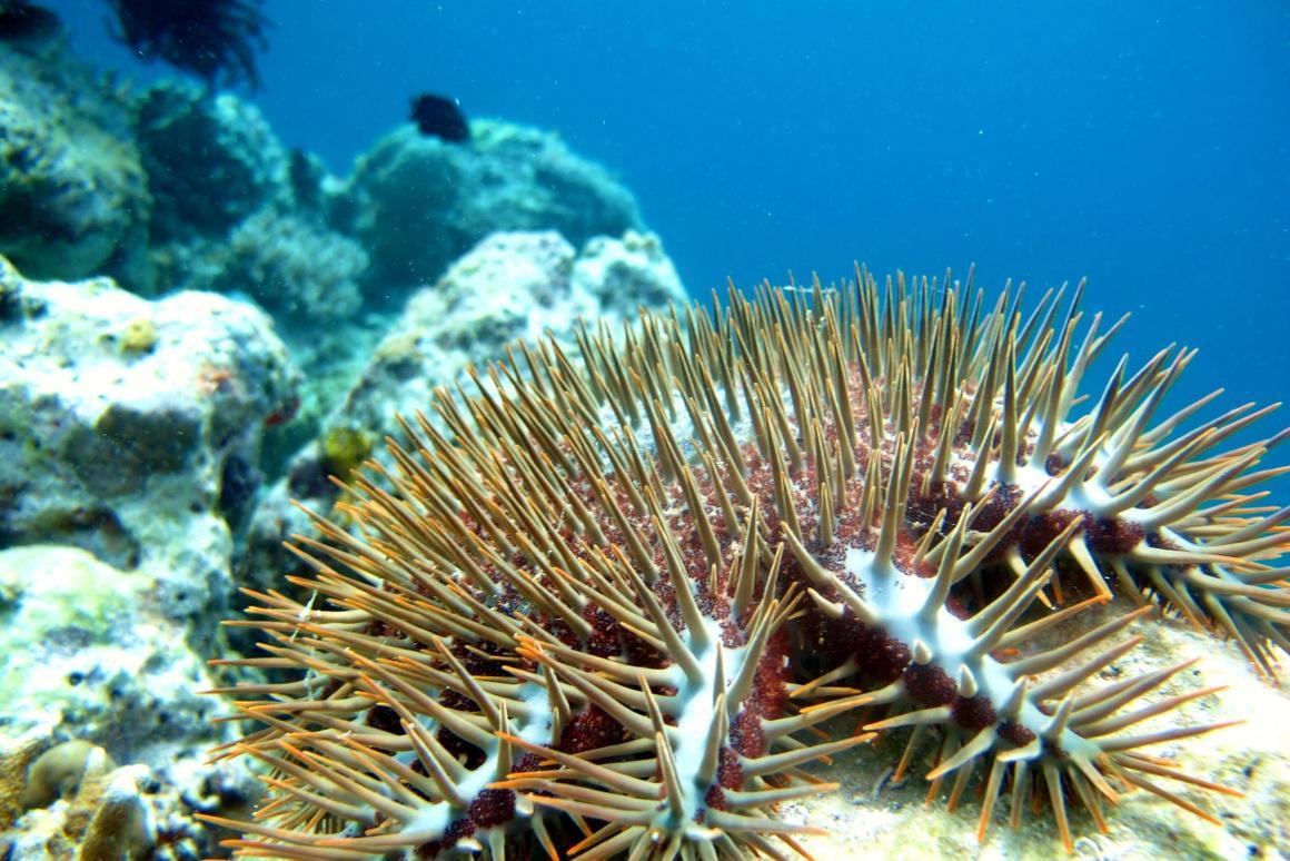 An autonomous killer-robot has the destructive crown-of-thorns starfish in it sights
