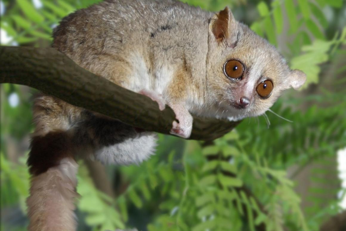 French researchers have found that caloric restriction increased the lifespan of mouse lemurs by 50 percent
