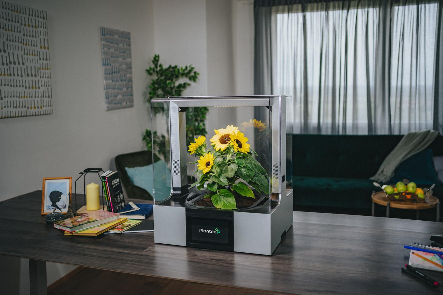 Bringing the Sun(flowers) into the living room with the Plantee indoor greenhouse