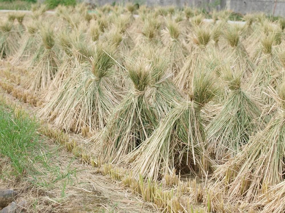 Harvested rice plants could be used for both biofuel and animal feed (Photo: Shutterstock)
