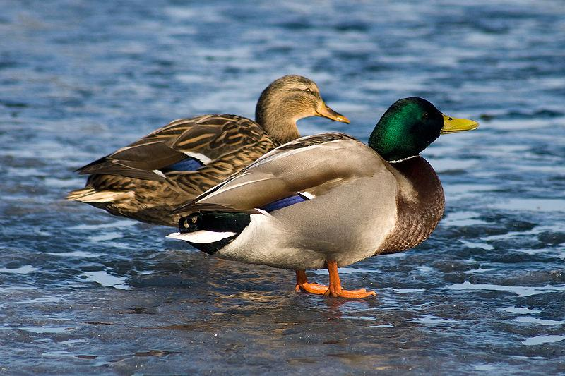 """Researchers in North America are developing a novel way to study the """"evolutionary arms race"""" that is duck mating"""