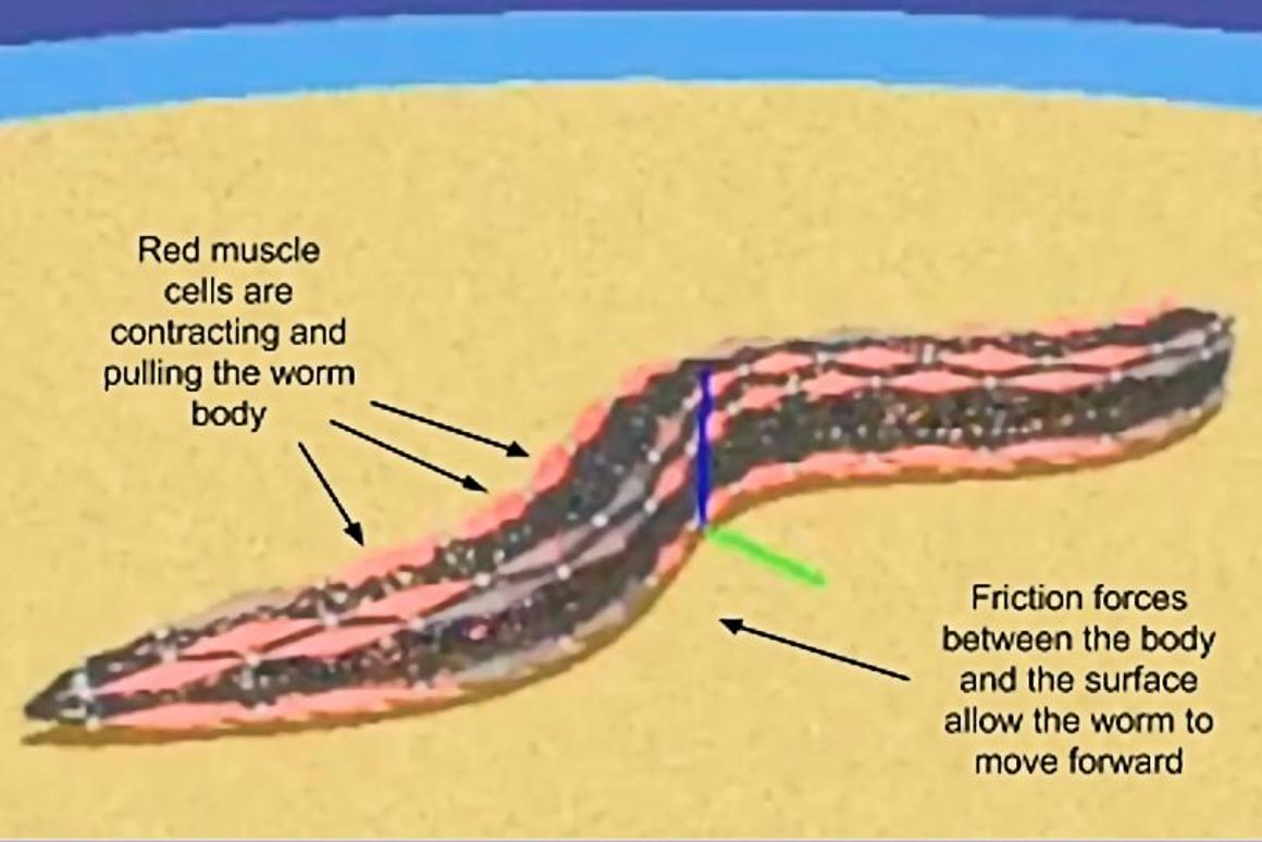 A view of the OpenWorm simulated nematode while swimming (Photo: OpenWorm)