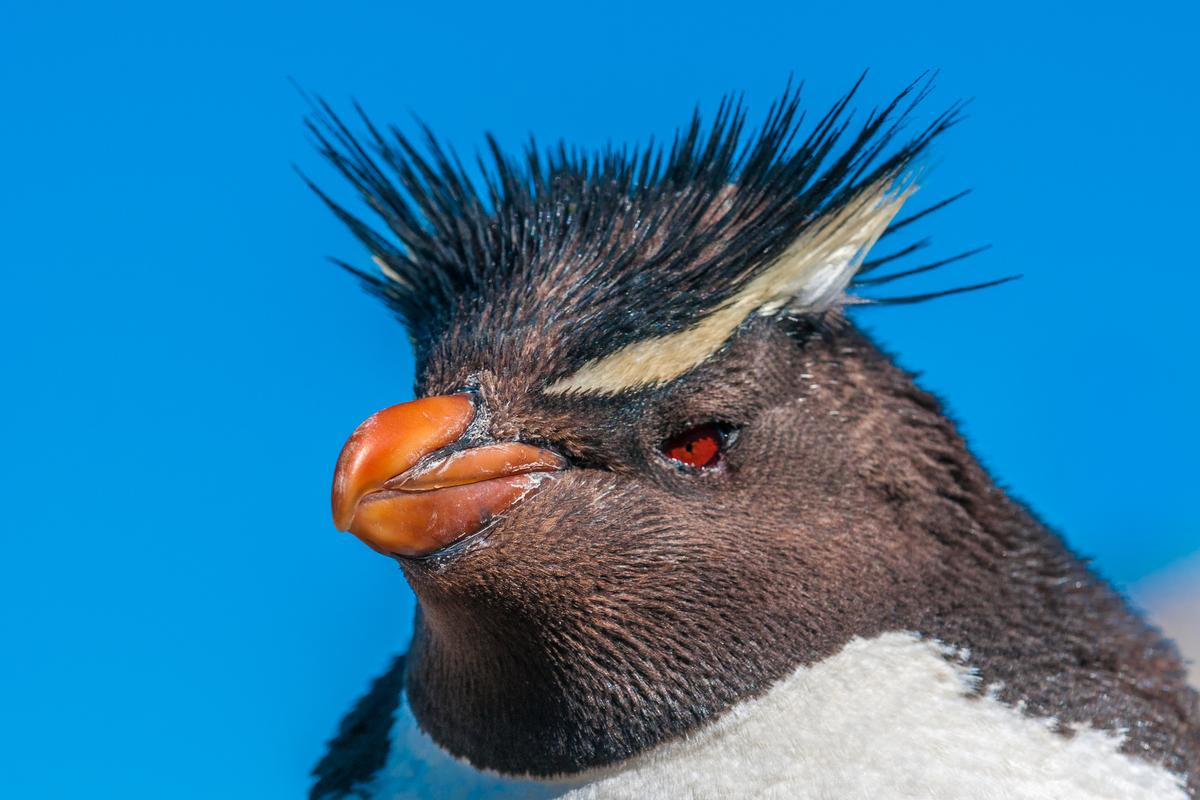 The study found Rockhopper penguins (above) to be the most genetically hybridized of all penguin species