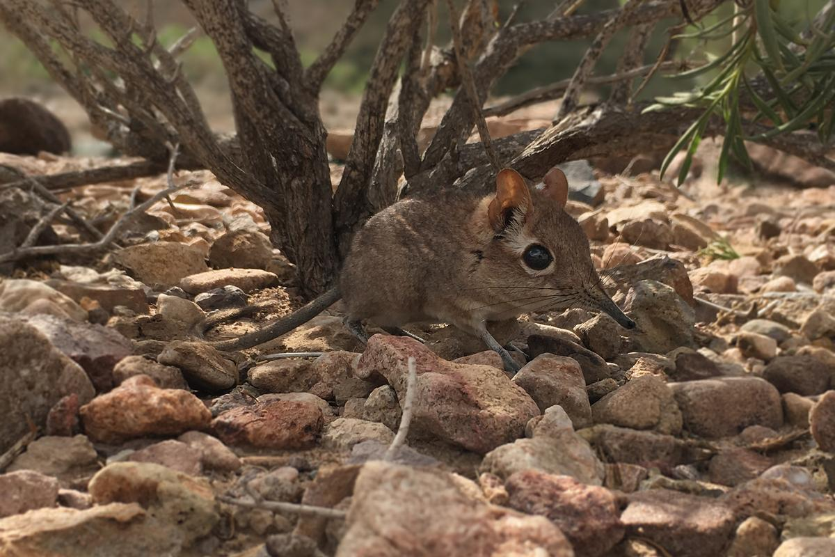 One of the first-ever photos of a live Somali sengi, after the species was rediscovered in East Africa
