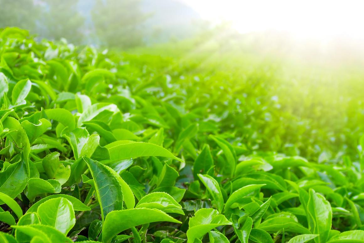 Quantum dots made from tea leaves have been found to inhibit lung cancer growth