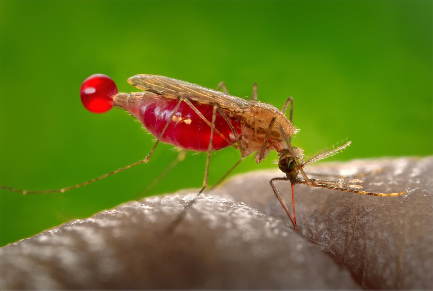 A female Anopheles gambiae mosquito, fuelling up