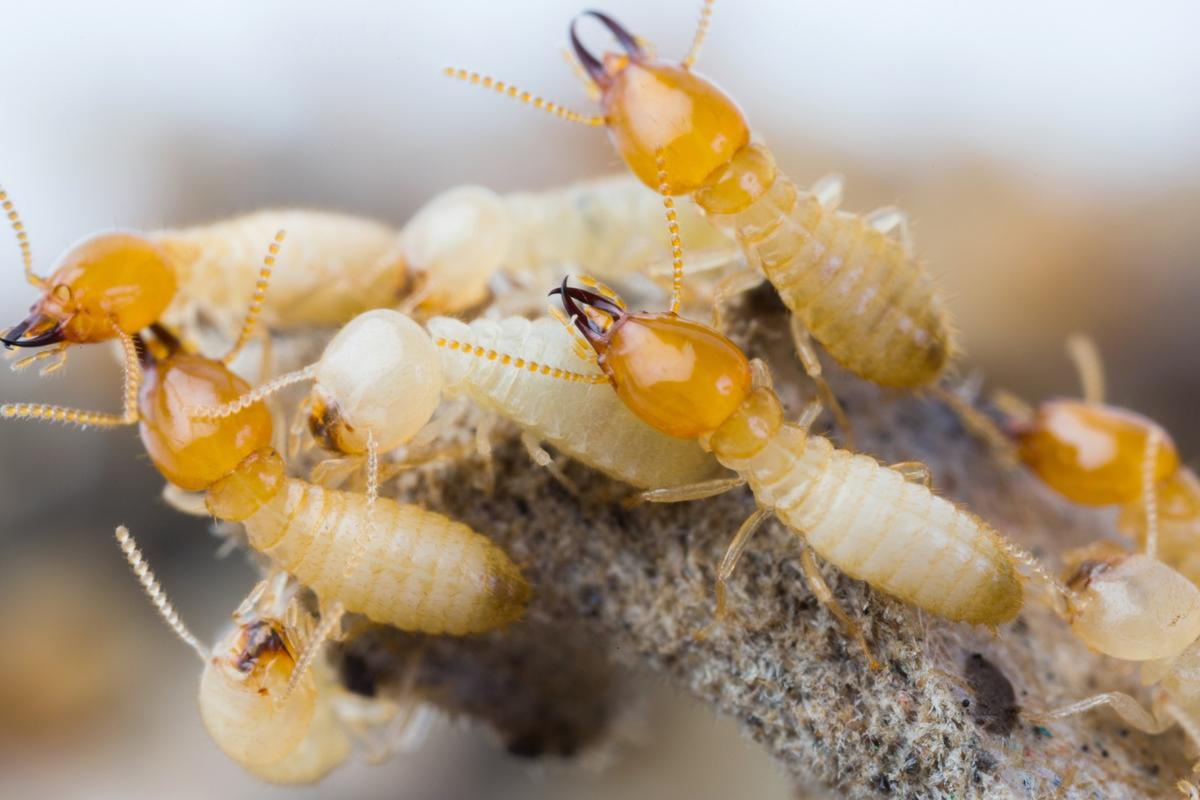 Researchers have found colonies of asexual termites that contain no males at all