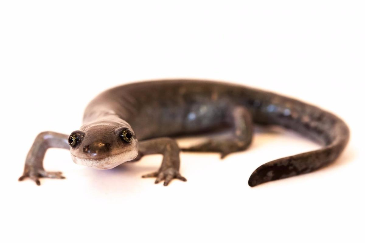 Proving that unisexuality isn't an evolutionary dead end, the unisexual Ambystoma salamander has a novel way of using males to continue its lineage