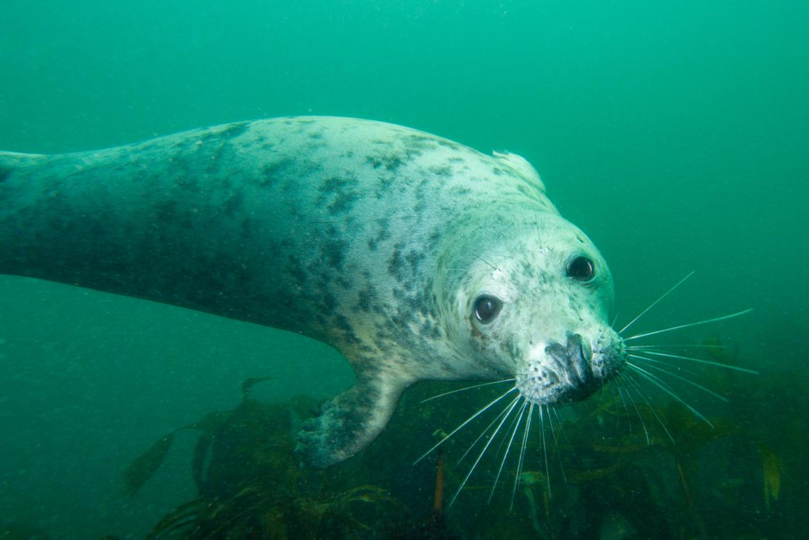 The idea of seals clapping may not seem all that surprising, but it has never been observed underwater in the wild before