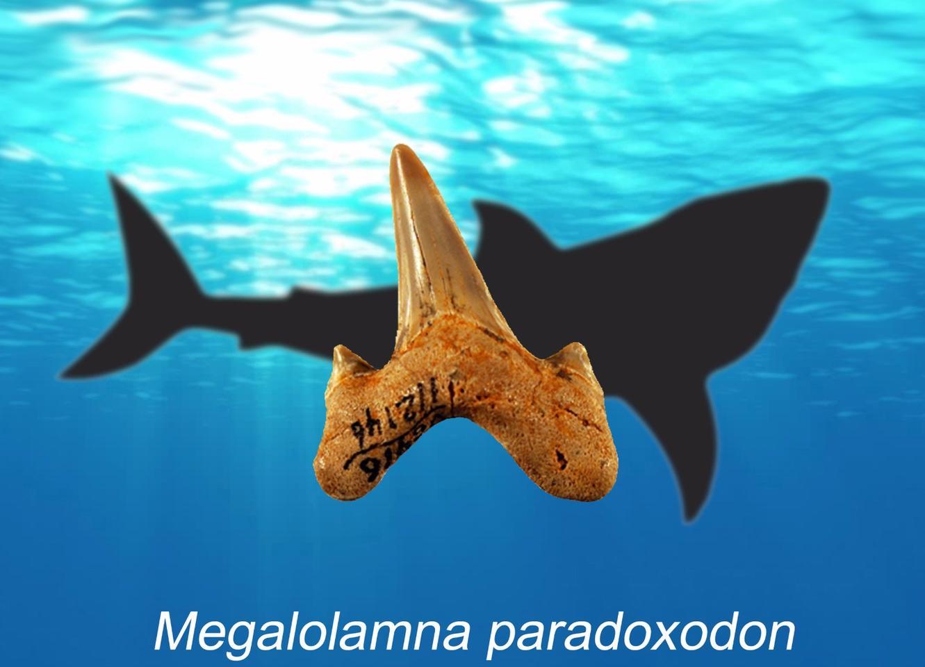 Say hello toMegalolamna paradoxodon