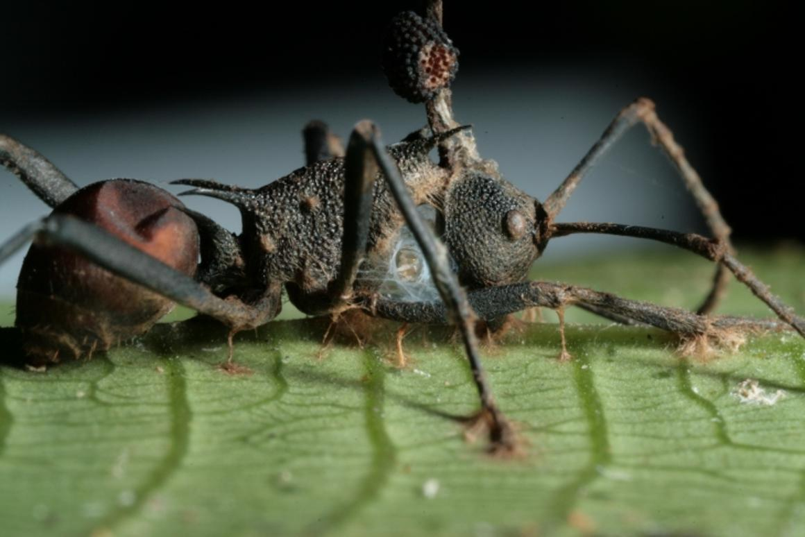 A new study has found that the zombie ant fungus takes control of its host without infecting the insects' brains