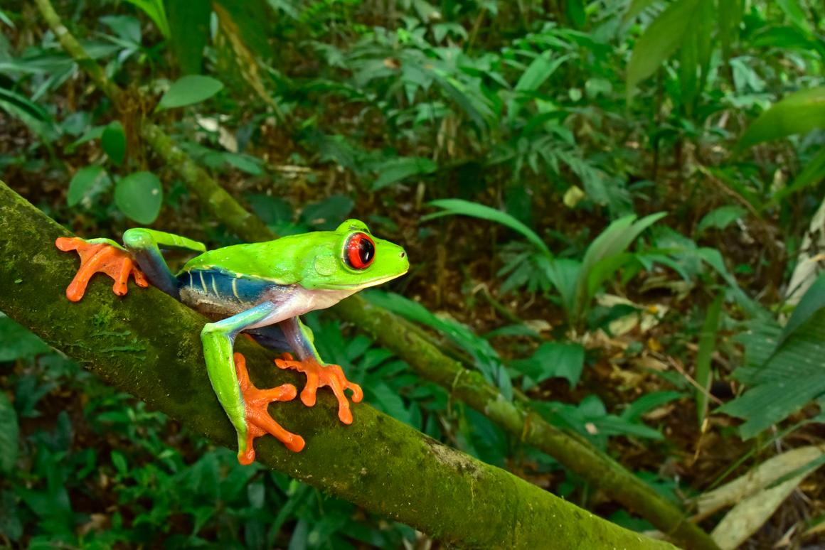 A red-eyed tree frog was one of the amphibian species observed during an expedition to the Lost City of the Monkey God in Honduras