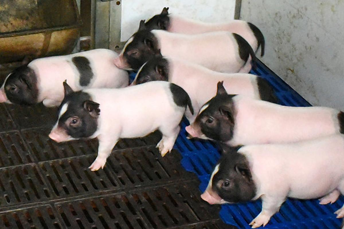 These CRISPR-engineered piglets have 24 percent less body fat than regular pigs