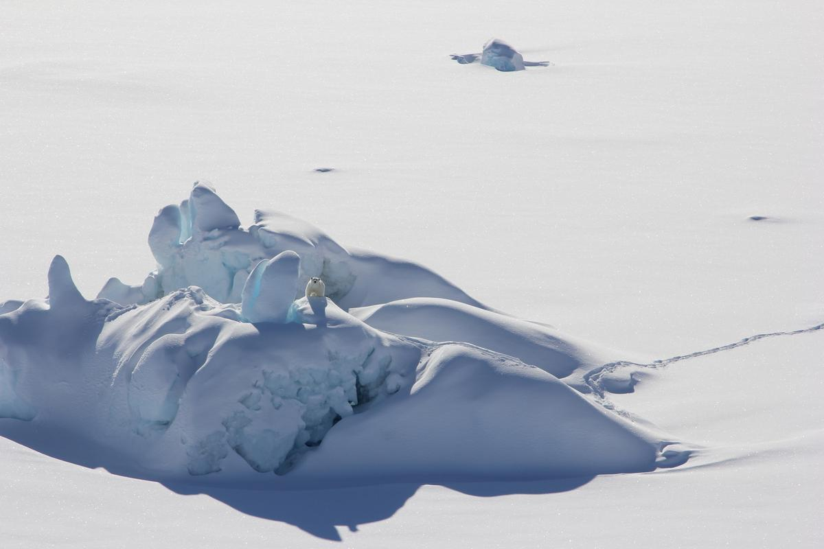 A polar bear on a thick slab of sea ice north of Greenland in 2016