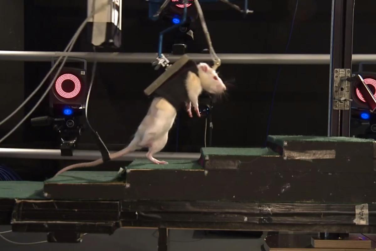Swiss research scientists utilize robotic therapy and chemical stimulation to return mobility to the legs of previously paralyzed rats