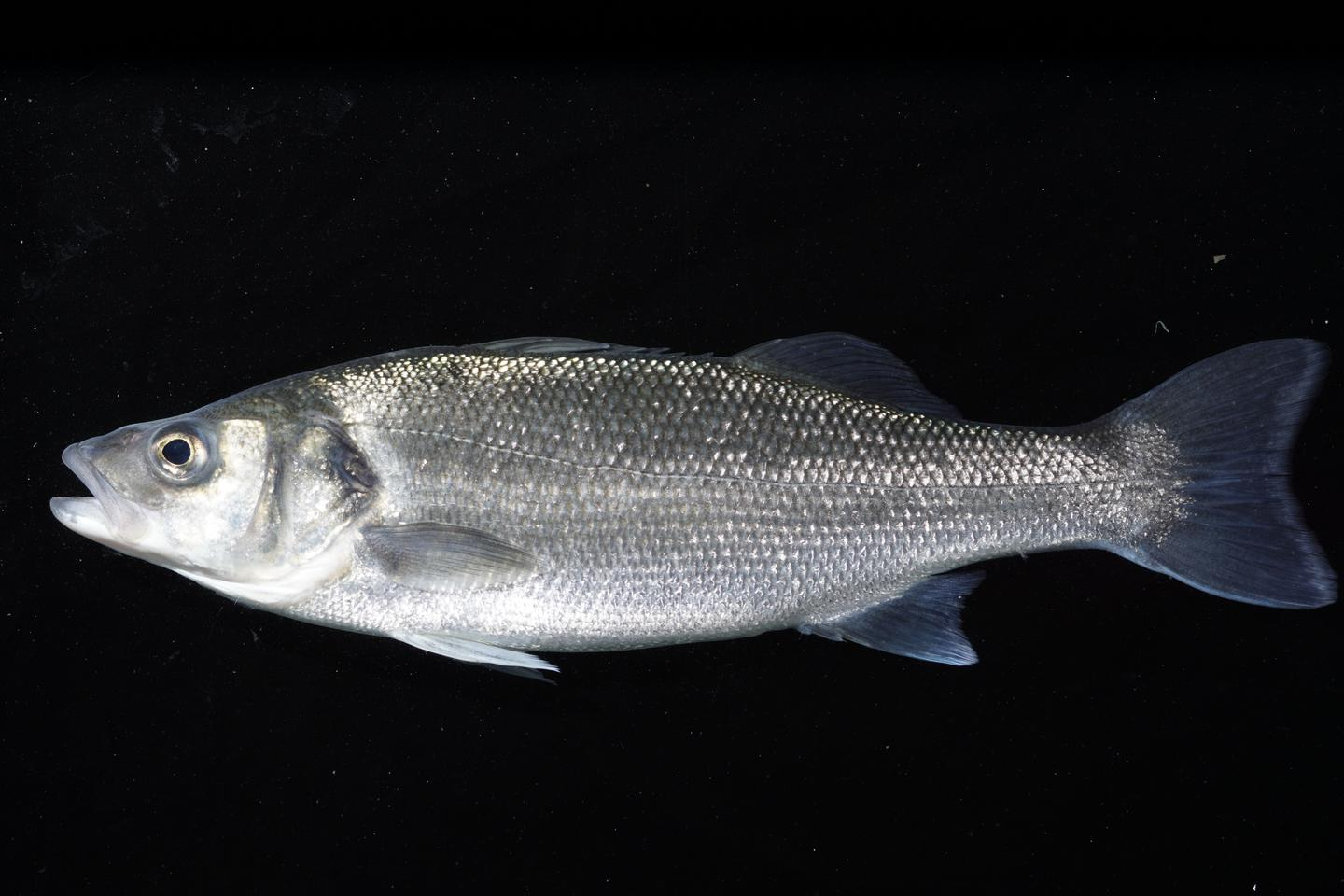 Although the research was conducted on sea bass (pictured), the scientists believe that their findings could be applied to other bony or cartilaginous fish