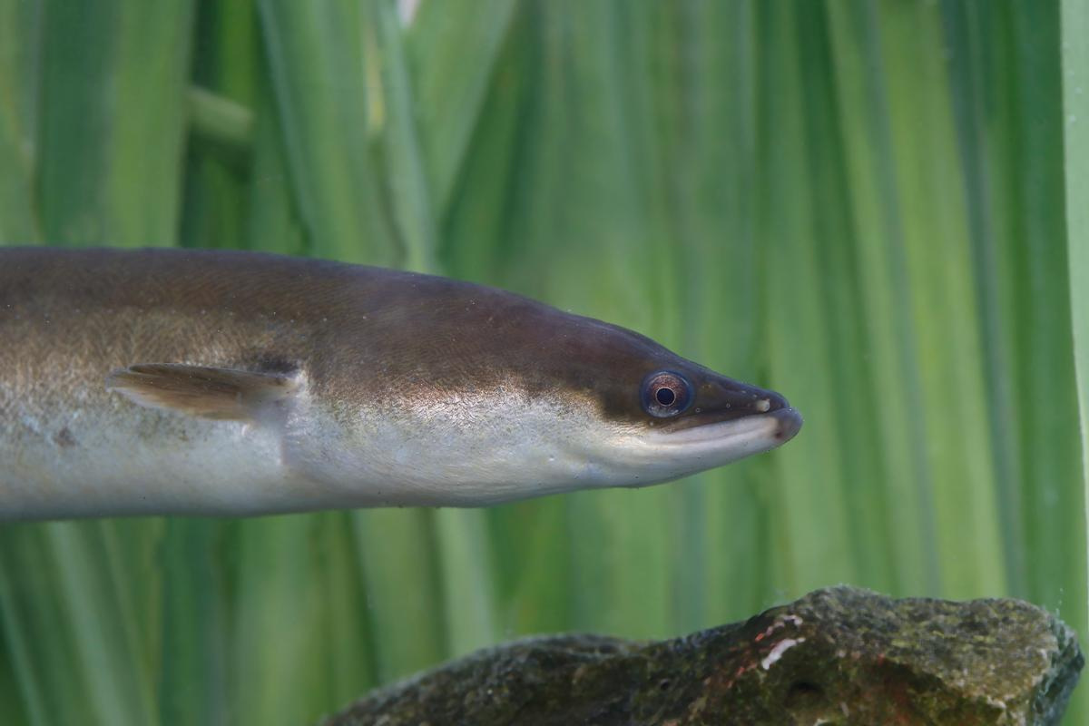 The majority of the environmental DNA found in the study came from eels – although not necessarily giant ones