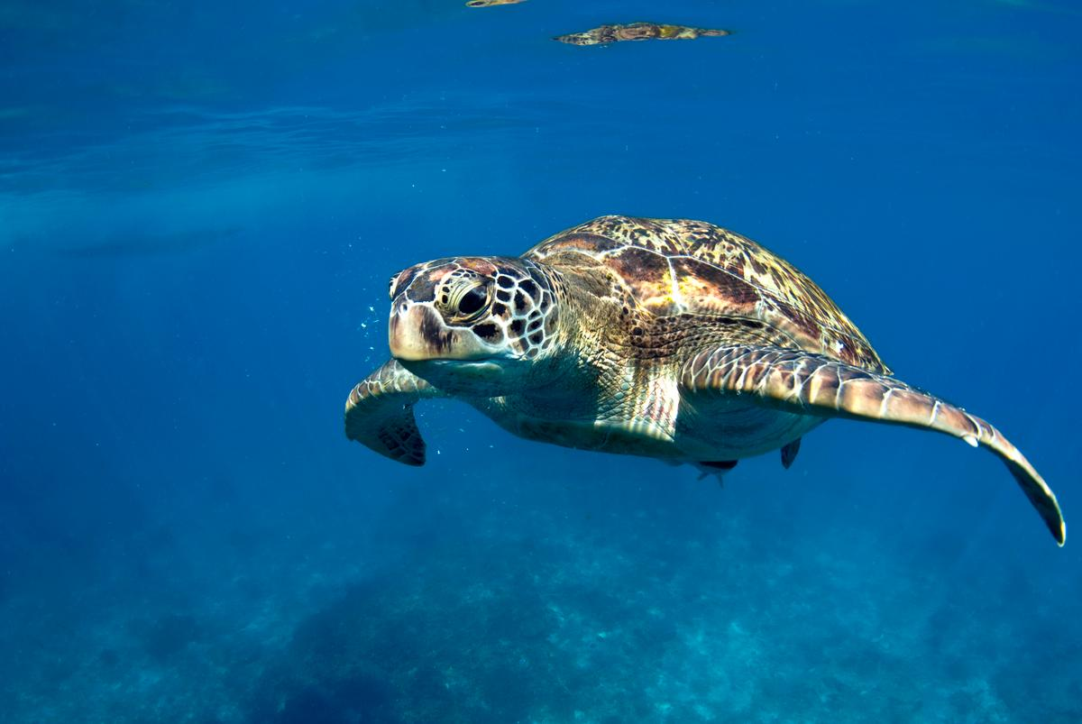 Installing LED lights on gillnets can help prevent the accidental catch of animals like green sea turtles