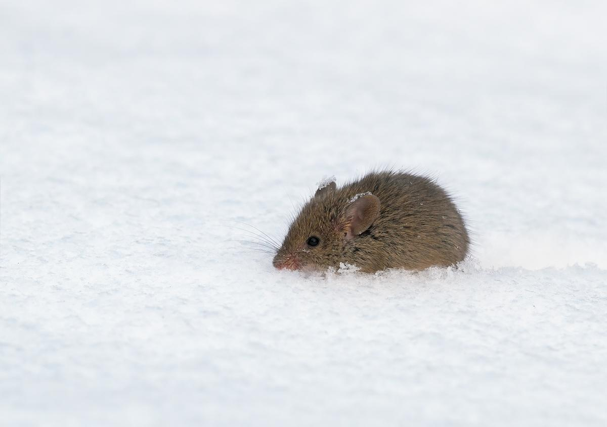 Researchers have disabled the cold sensation in lab mice (Photo: Shutterstock)