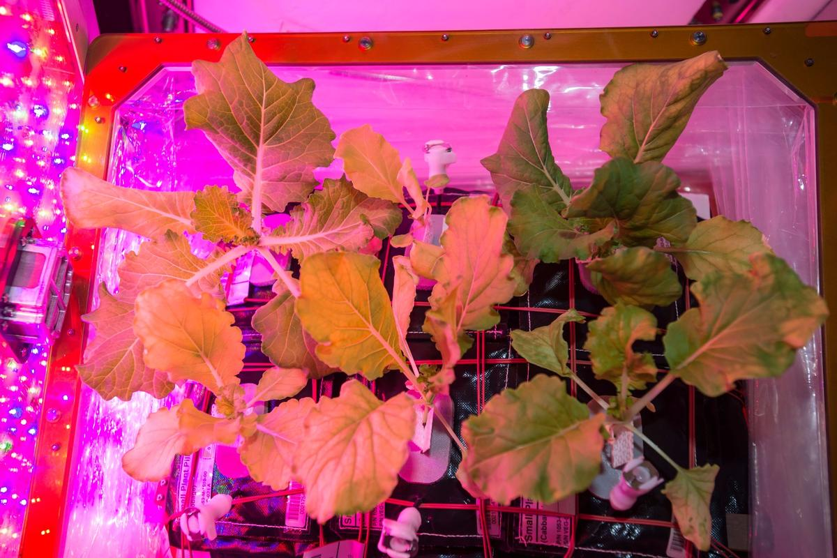 Tokyo Bekana Chinese cabbage leavesready to be harvested in the Veggie experiment on the ISS