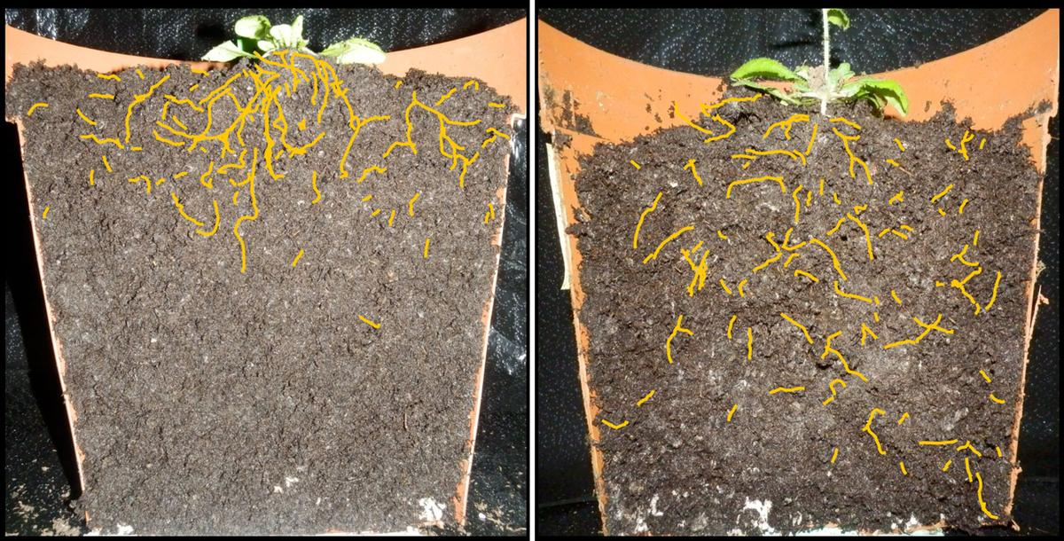 The root system of the thale cress plant, spliced in half for easier study