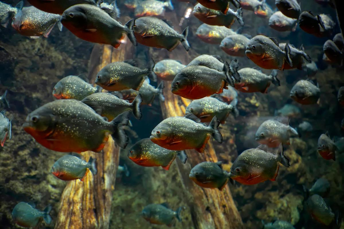Different types of piranhas make different sounds – a fact which could be used to detect what types of the fish are in which areas