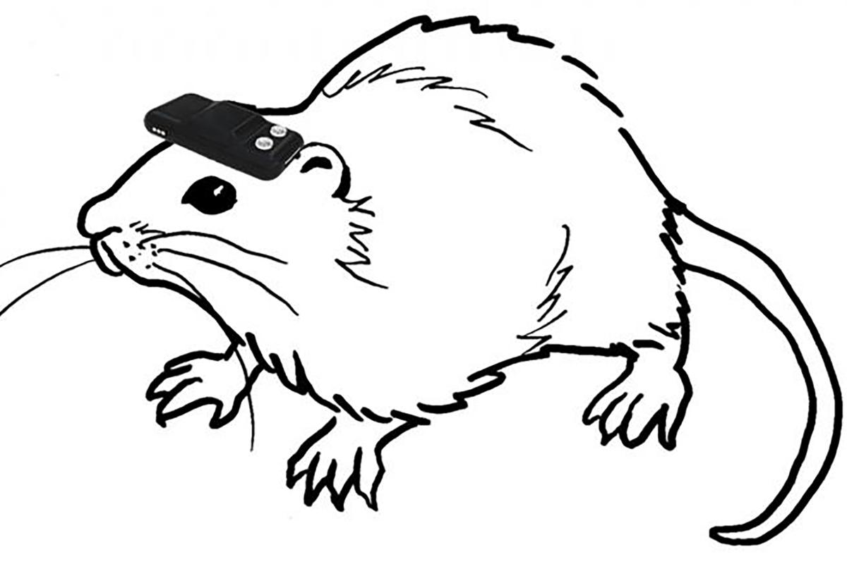 The attached hardware allowed the blind rats to regain spatial awareness (Image: Norimoto/Ikegaya)